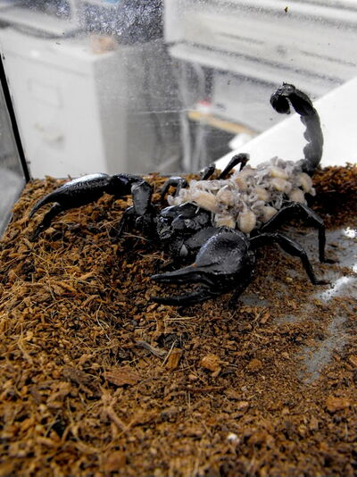 Winnipeg's newest outlaw: The emperor scorpion, one of the species now banned under Winnipeg's pet bylaws.