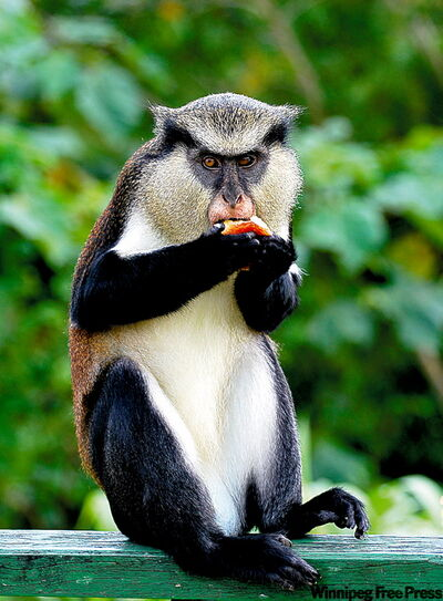 A Mona monkey in Grenada's rainforest awaits tourist handouts.