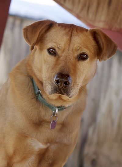 Houdini, a lab-shepherd mix, was placed in a foster home by Best Friends Animal Sanctuary in Kanab. Despite his foster owner's best efforts to keep him close, the dog pushed an air conditioner out of a window and made his getaway. Fortunately the staff at Best Friends anticipated Houdini's wandering ways and had outfitted his collar with a GPS tracking device. The device worked as promised, and Best Friends adoption manager Kristi Littrell found the errant dog in an overgrown lot in Kanab. Houdini is currently still at Best Friends. (AP Photo/Best Friends Animal Society, Sarah Ause Kichas )