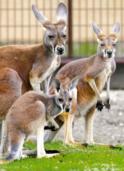 The Assiniboine Park Zoo's red kangaroos are considered good-natured.