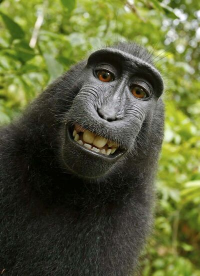 David Slater / Court exhibit provided by PETA / The Associated Press Files</p><p>People for the Ethical Treatment of Animals argue that Naruto, a macaque monkey, is the rightful owner of this selfie. The camera&rsquo;s owner disagrees.</p>