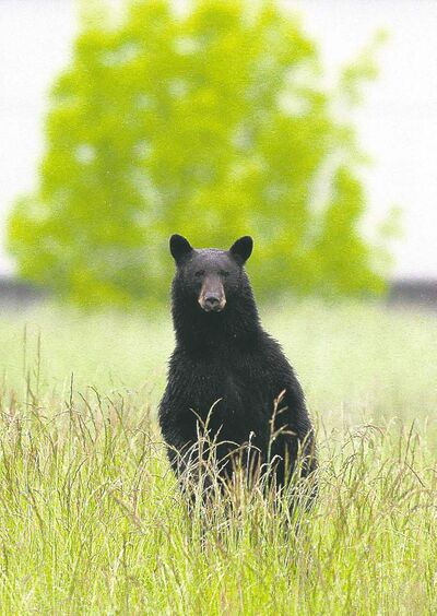 The dry spring is bad news for black bears. Because the forests may yield few berries, the bears may venture near populated areas in search of food.
