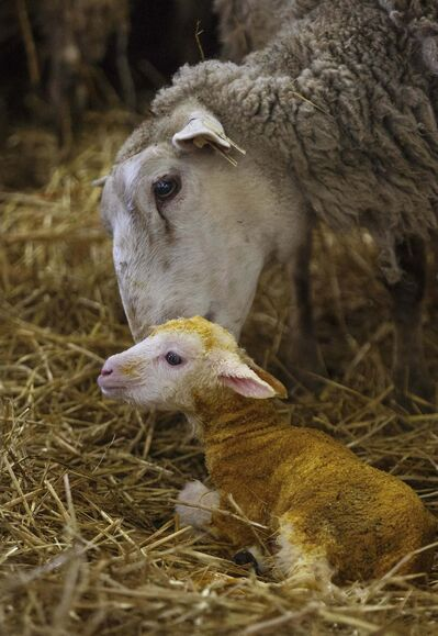 Surging immigration and changes in eating habits are creating a massive opportunity for Manitoba lamb producers.