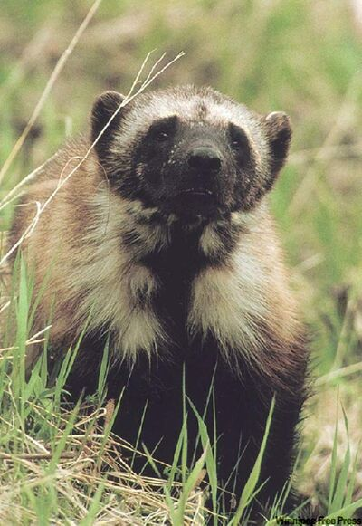 A wolverine in Glacier National Park, Mont.