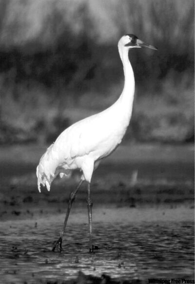Postmedia NewsThere are about 300 whooping cranes today, up from 22 in 1941.