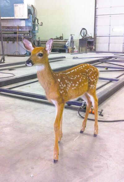 Bambi is seen wandering into a metal shop on the Windy Bay Hutterite colony.