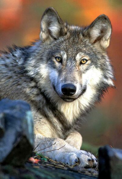 Wolves have attacked at least four dogs in the past three weeks.