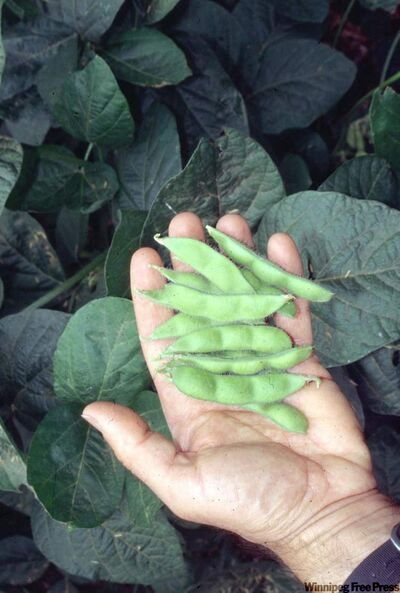 Soybeans are a rich source of vitamin K1 and K2.