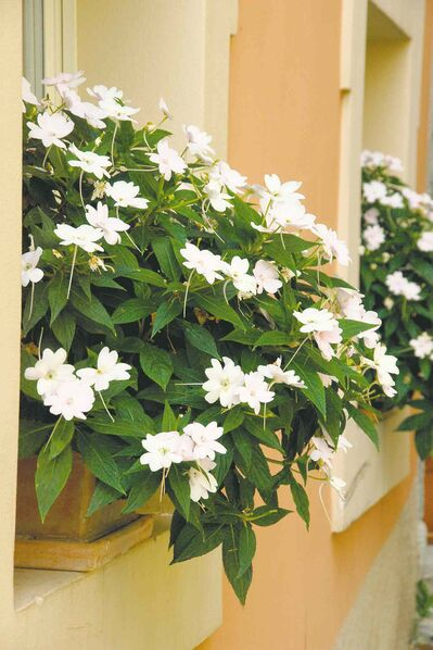 At right, create a mini-garden with a window box. Perfect for areas with minimal space. SunPatiens Compact Series has a full, dense growth habit that can grow up to 18 to 24 inches tall and wide and is available in multiple colour shades. Water boxes usually need to be watered daily during periods of drought.