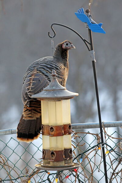 A wild turkey sits on the fence of Anne and Ernie Leskiw's yard in Souris on a cold Thursday afternoon.