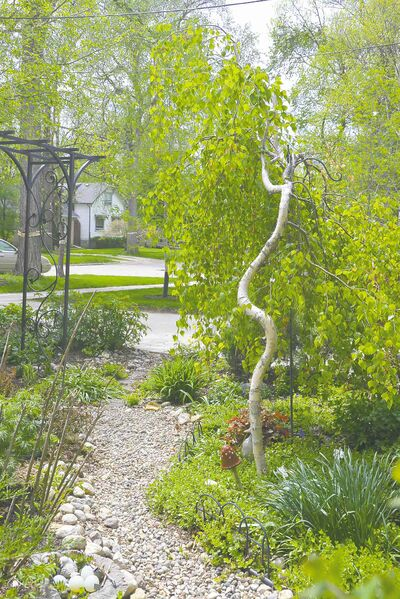 This intriguing example of Young's weeping birch thrives in a garden on Kingston Crescent.