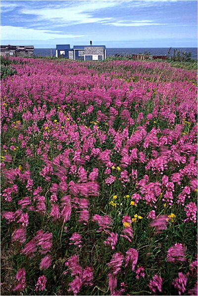 A vivid carpet of purple fireweed blankets large areas in northern Manitoba. Lorne Heshka