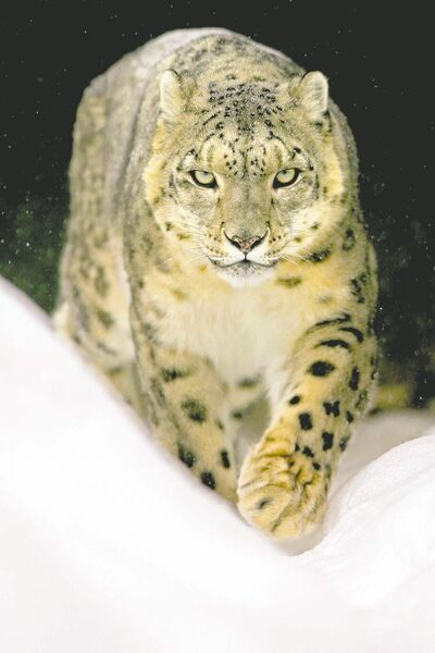 MIKE DEAL / WINNIPEG FREE PRESS archiveSnow leopards had endured in the Wakhan, possibly becoming one of world�s most vital populations of the species.