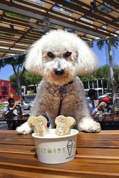 Benji gets ready to dig into his Pooch-ini sundae of frozen custard with dog biscuit topping at Shake Shack on Santa Monica Boulevard in West Hollywood.</p>
