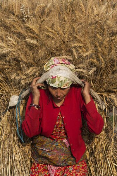 A Nepalese farmer carries a bundle of harvested wheat in Nalinchowk, near Kathmandu, Nepal. More than half of Nepal's population work in agriculture.