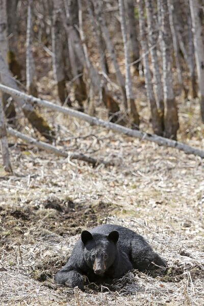 Tim Smith / The Brandon Sun</p><p>A black bear takes a break to look around while lounging on its belly eating grasses and roots just off of Provincial Trunk Highway 19 in Riding Mountain National Park.</p>