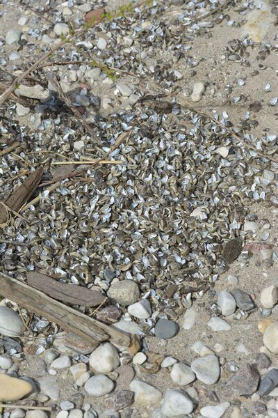 Thousands of zebra mussel shells littered Island Beach in May.</p></p>
