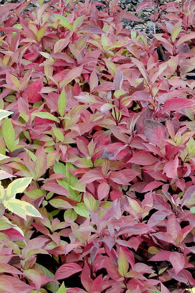 Little Rebel Dogwood is one of this year's hot new shrubs. A dwarf with a nice, dense globe, it turns a beautiful burgundy in the fall.