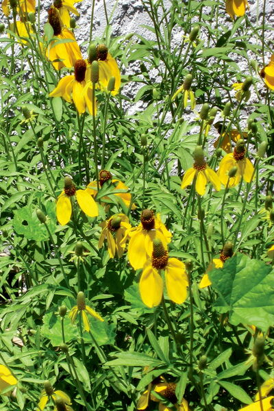 Coneflower has a flower that is interesting and long-lasting.