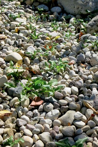 Stone mulches become weed infestations fairly easily when organic debris settles into the spaces between the stones.