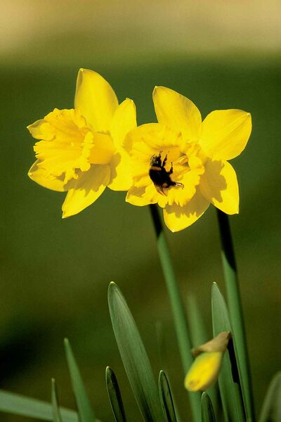 Bumblebees seeking nectar from flowers are an exhilirating sign of warm spring and summer weather..