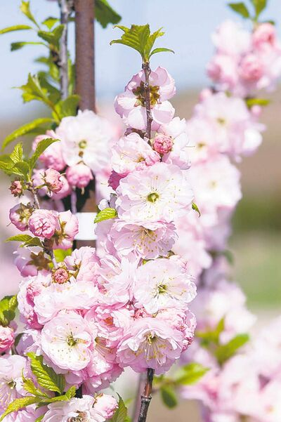 Double flowering plum is extremely hardy (zone 2) and puts on a spectacular show each spring with double pink blossoms. Mature height is only eight feet. Remove any leafy sprouts that appear on the stem or at the base.