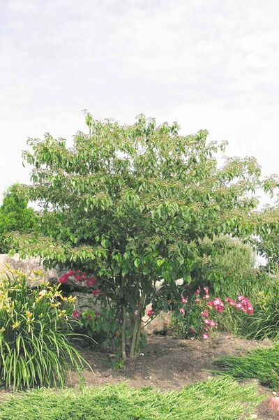 With layers of horizontal tiered branching, Pagoda dogwood has a distinctive architectural look in the landscape, with emerald green foliage and creamy white flowers in late spring.