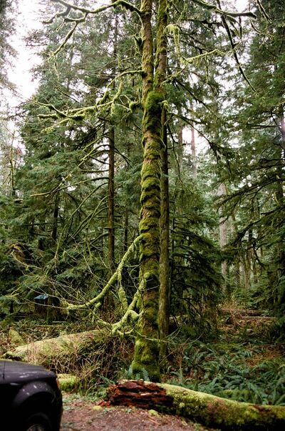 Moss grows on trees in Cathedral Grove, west of Parksville, B.C.