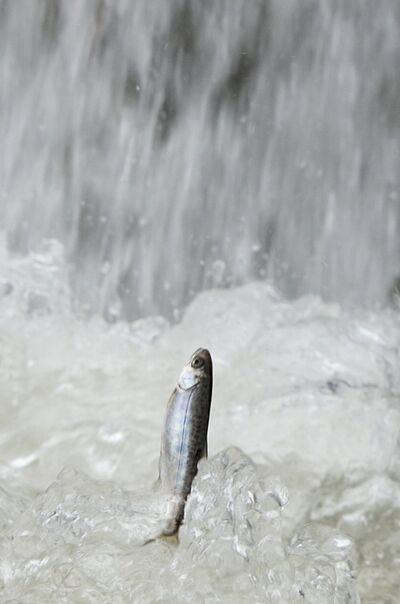 A Chinook salmon smolt flips out of the water after being released from a tanker truck on Tuesday, March 25, 2014 in Rio Vista, Calif.