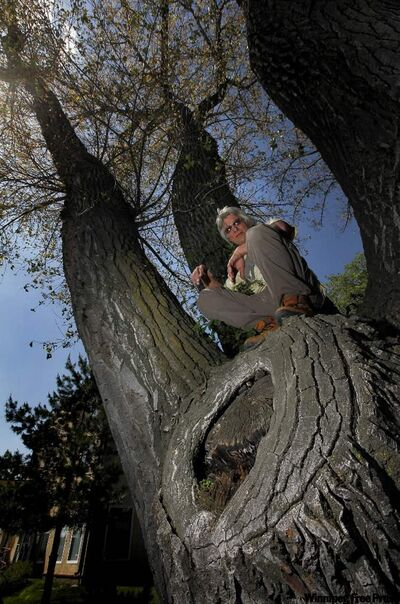 Harold Janzen is up a 119-year-old cottonwood in Morden.