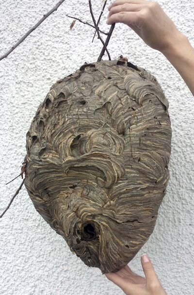 Victoria Pest Control</p><p>Aerial yellow jackets and bald-faced hornets create the large round nests homeowners often find around their property. If spraying them with a pesticide, do it at night when the insects are inside and settled down. </p></p>