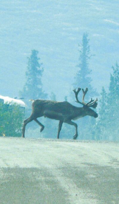 A Caribou crosses a road in Denali National Park.