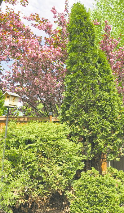 Sculptural interest provided in a garden by a grouping of three cedars.