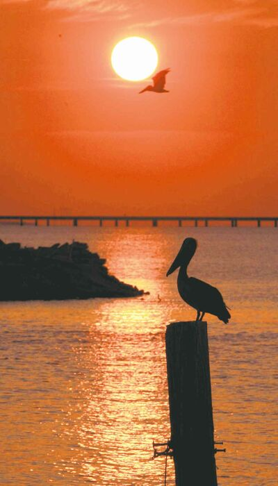 The state bird of Louisiana, the Brown Pelican, is silhouetted against the setting sun on Lake Pontchartrain in New Orleans.