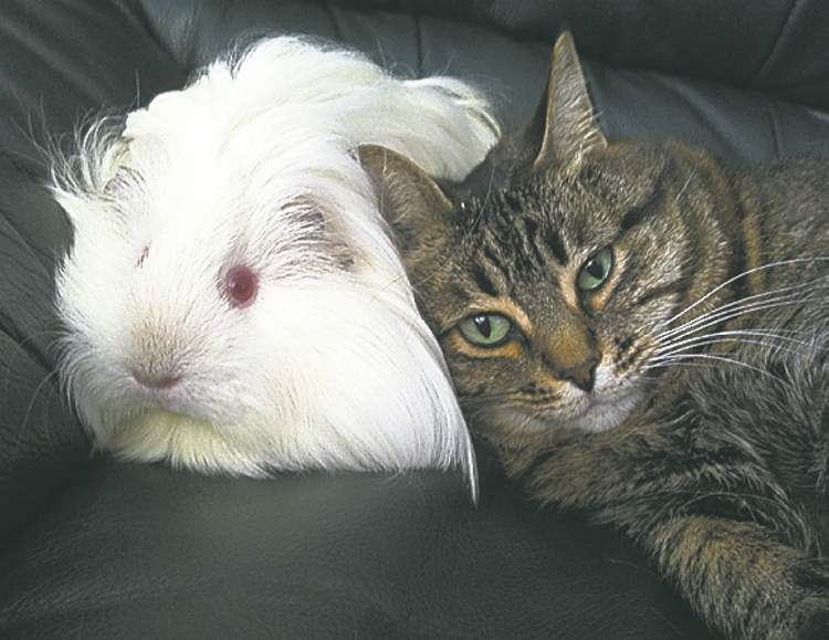 This is my oneyear- old longhaired guinea pig Sweetpea and my seven-year-old rescue cat Katie, cuddling up after a good brushing. — Brynn Guse, Winnipeg