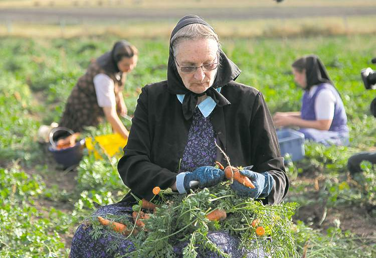 Hutterite Judy Hofer picks carrots at King Ranch Hutterite colony in Montana in an undated image from the National Geographic Channel. The TV series American Colony: Meet the Hutterites is being condemned by many with connections to the faith, including author Mary-Ann Kirkby, above with her son Levi, who spent the first 10 years of her life on the Fairholme Hutterite colony near Portage la Prairie.