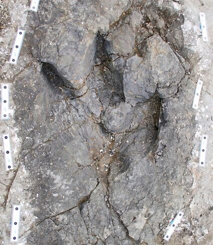 Well-preserved fossil footprints, shown in a handout photo provided by the Peace Region Palaeontology Research Centre, found in northeastern B.C. provide the first trackway evidence that Tyrannosaurs may have travelled in packs. The dinosaur footprints preserved in the rock near Tumbler Ridge provide a glimpse at the beasts that roamed the region 70 million years ago.THE CANADIAN PRESS/HO-Peace Region Palaeontology Research Centre