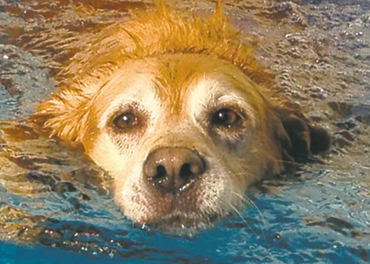 This Willow, an eight-year-old retriever, cooling off from the hot weather in the pool.  -- Cindy Warner