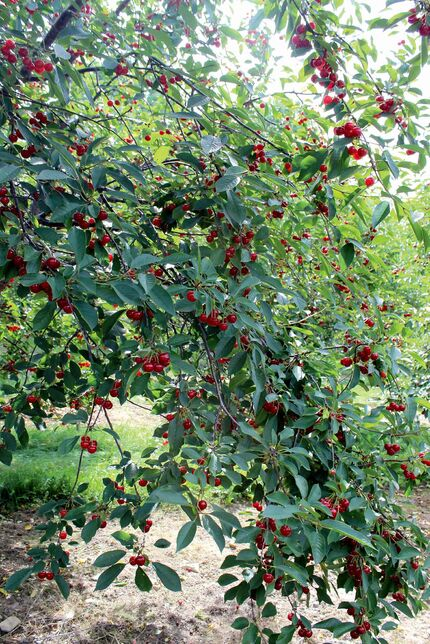 Photo by Chris Jones Door County has approximately 2000 acres of Montmorency orchards.  The Montmorency cherry takes its name from the Montmorency Valley in France.