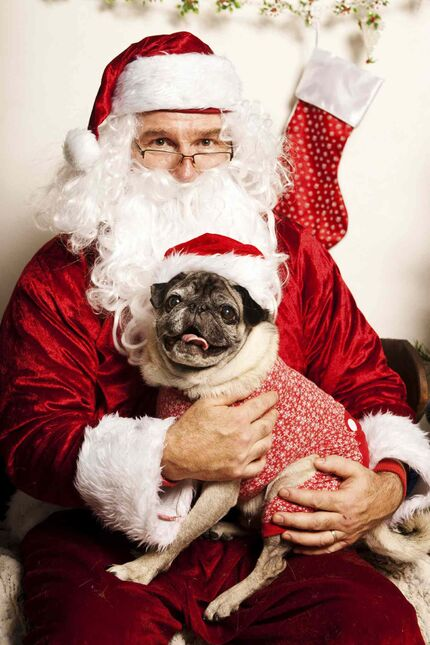 Santa gets a visit from Eddy at the Boston Terrier & Pug Rescue of Southern Manitoba's Holiday Fun Dog Day fundraising event last year.