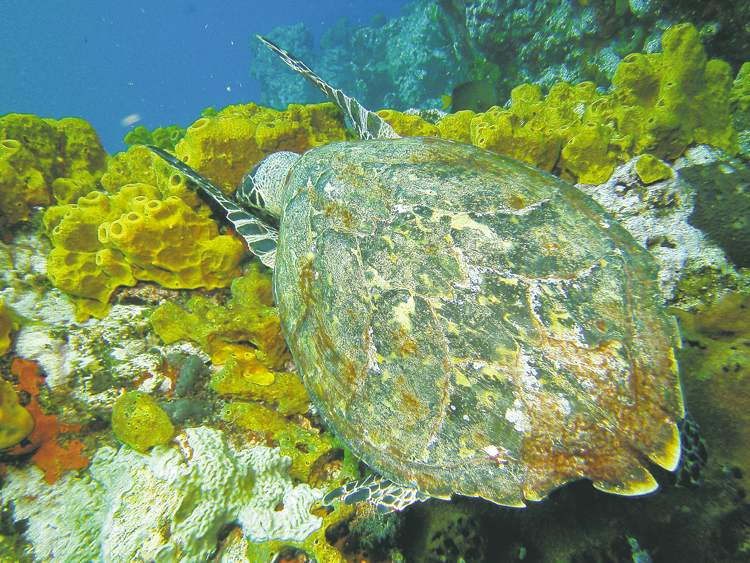 A hawksbill sea turtle snags lunch at the Man-Of-War Shoals dive site in the Saba Marine Park in Saba. Below,