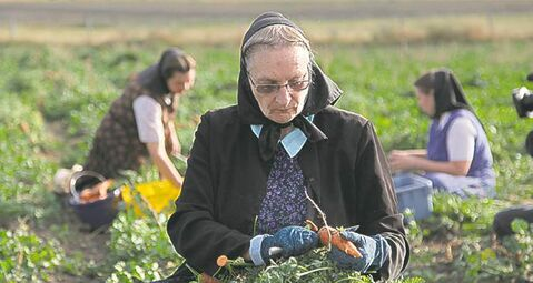 Montana Hutterite Judy Hofer picks carrots.