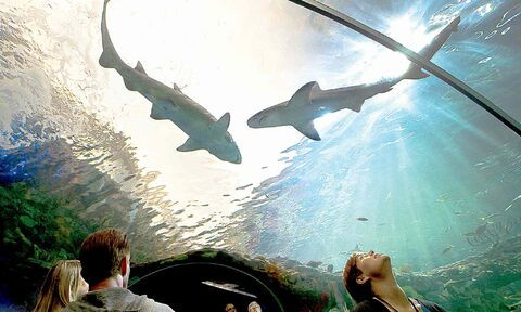 People watch sharks swim above their heads at the Ripley's Aquarium