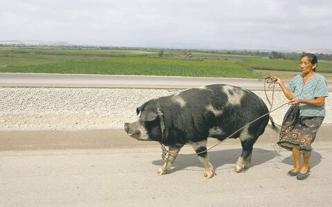 A woman walks a giant pig along the Pan-America road south of Lima, Peru.