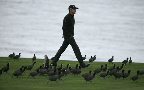 Jimmy Walker walks through a flock of coots on the 18th fairway, Sunday, Feb. 9, 2014, during the final round of the AT&T Pebble Beach Pro-Am golf tournament in Pebble Beach, Calif. (AP Photo/Ben Margot)
