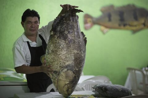 "In this May 23, 2014 photo, a waiter shows a large Tambaqui at the O Canto da Peixada restaurant in Manaus, Brazil. The jungle city of Manaus is home to exotic dining options, from the tart ""mari mari"" fruit that looks like a giant string bean to barbecued fish ribs from the giant ""piracuru"" to soup made from flesh-eating piranha. (AP Photo/Felipe Dana)"