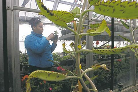 Student Mellisa Beaulieu works in the greenhouses at the Horticultural program at R.B. Russel Collegiate.