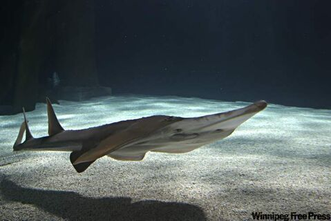 Guitarfish, one of the thousands of underwater creatures swimming around and over visitors to the aquarium.