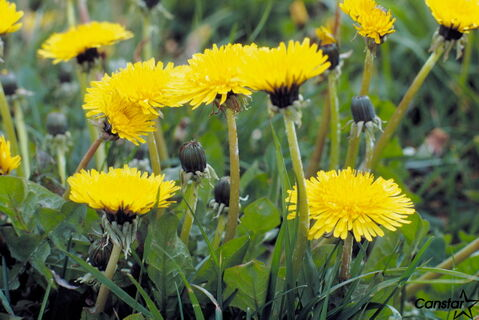 'There is a blossoming market of what is called bio-pesticides,' Mackintosh said. 'Clearly, the market is changing very rapidly. It is no longer a choice between conventional pesticides and a dandelion.'