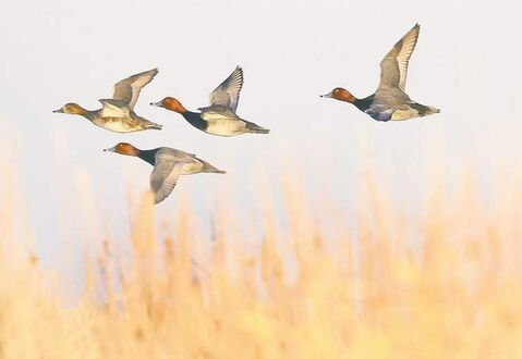 Redhead ducks scout for a good landing place in Delta Marsh.
